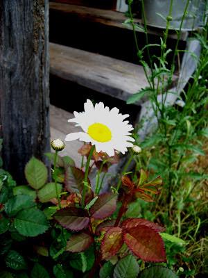daisy. ccthompson. carlas victorian heirlooms.
