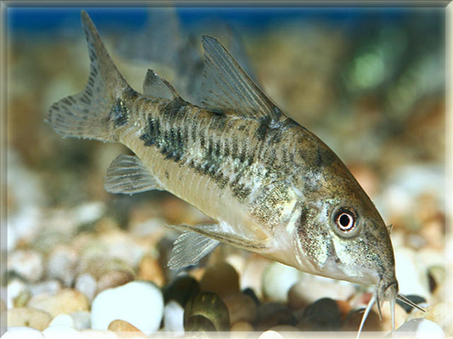 Freshwater fish names starting with p animals name a to z for Cory cat fish