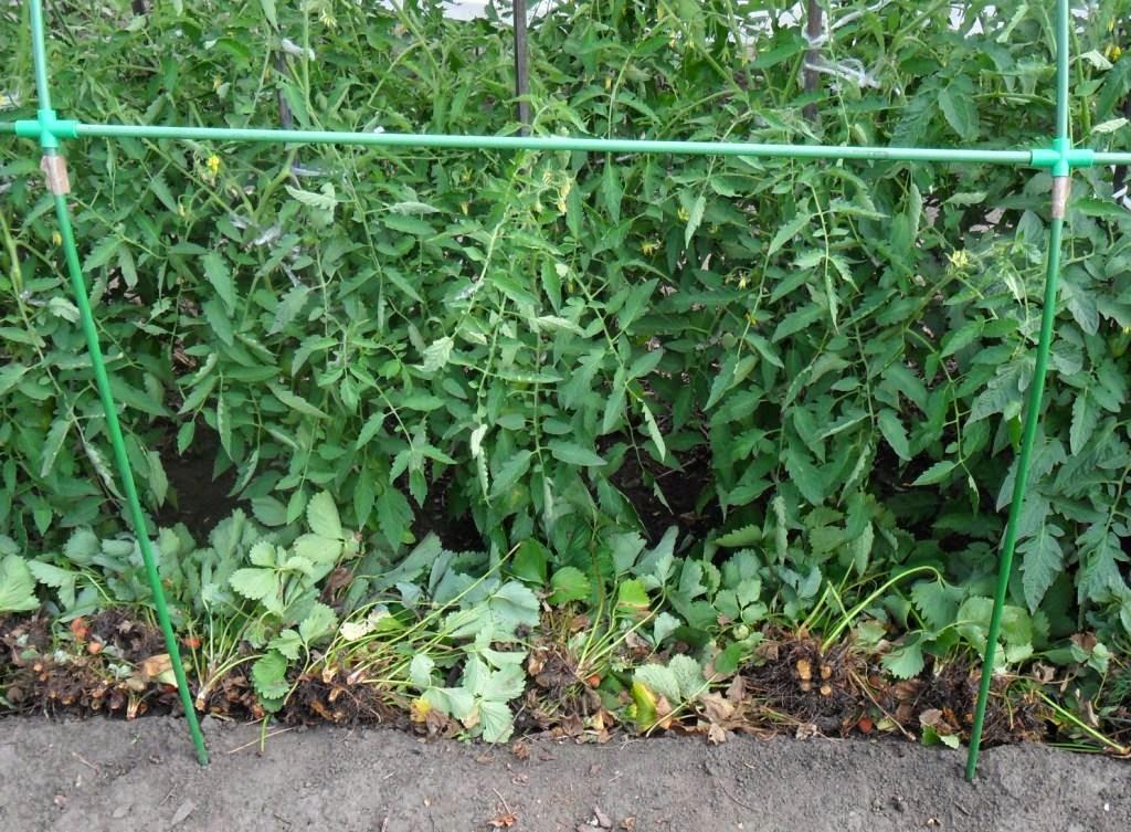 Отплодоносившую клубнику срубаю и использую в качестве мульчи для помидоров