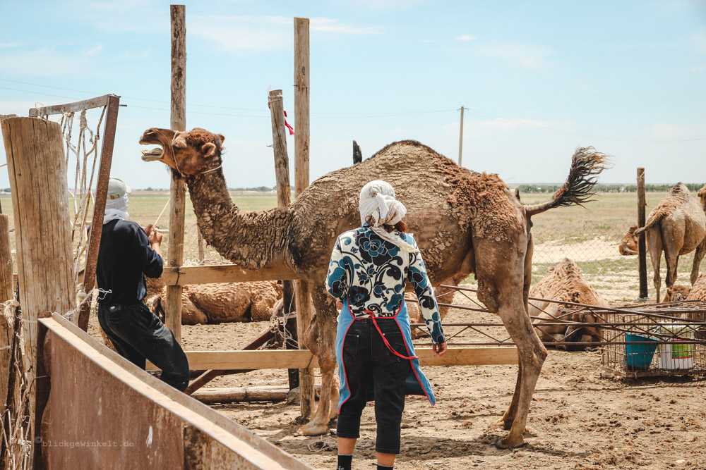 Angebundenes Kamel