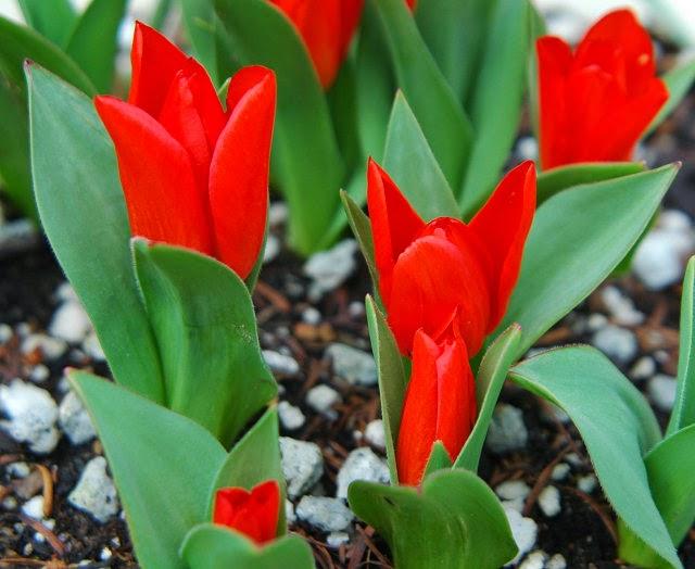 Gambar Bunga Tulipa praestans