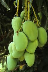 Pambansang Prutas - Mangga