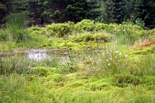 Moor im Isergebirge mit Wollgras