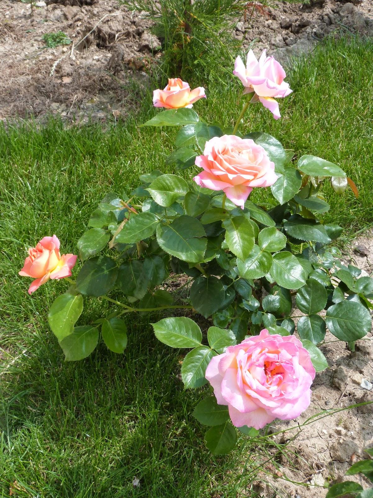 Un jardin des fleurs framboises alstroem re et rosiers for Un jardin de fleurs