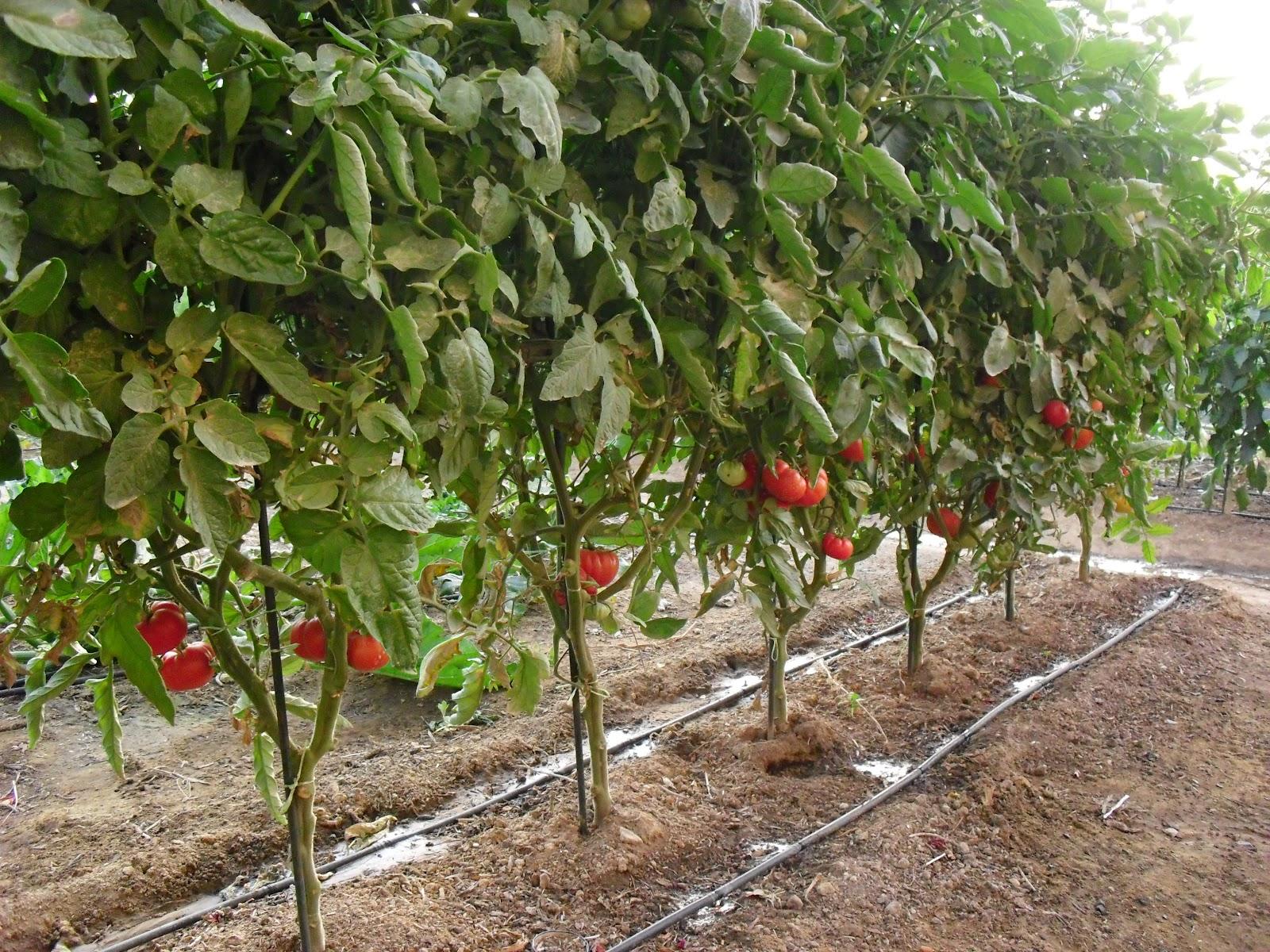 El huerto del lopez julio 2012 for Plantas beneficiosas para el huerto