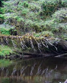 Golden Spruce.