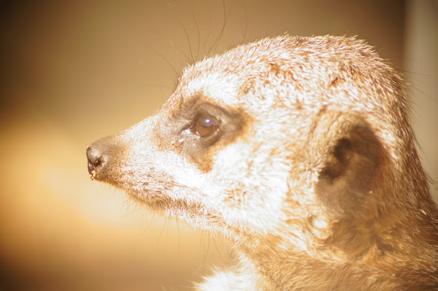 picture of a meerkat