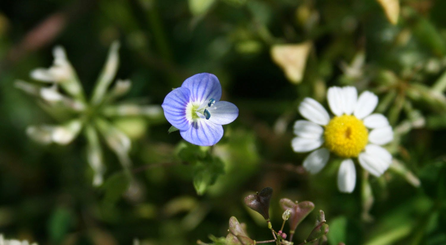 A daisy and a tiny blue flower