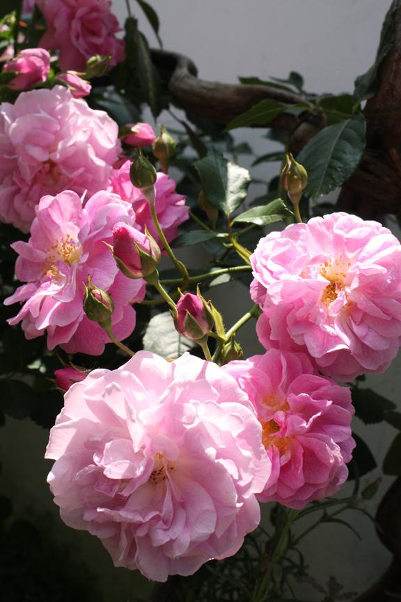 """Rose Splendor, our garden, image by LeAnn for linenandlavender.net, """"Dream Day"""" post: http://www.linenandlavender.net/2012/05/dream-day.html"""