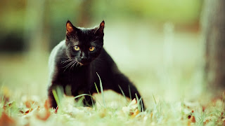 Gato negro mirando