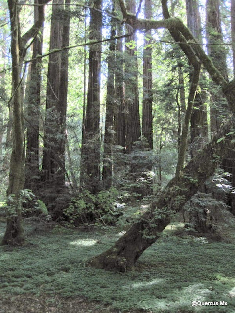 Bosque de Muir en California