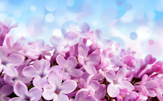 Purple Lilac Flowers Amazing Macro HD Love Wallpaper