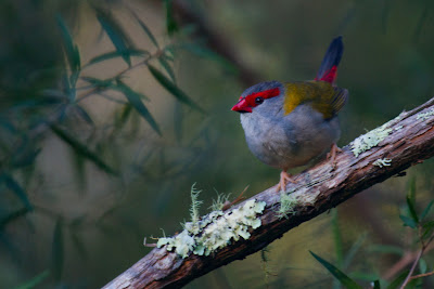 Red-browed Finch - Neochmia temporalis