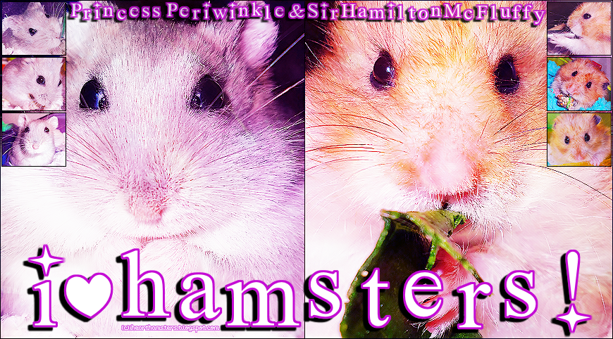 ☆ i ♥ h a m s t e r s ! ♔ shelly's hammy blog ❥