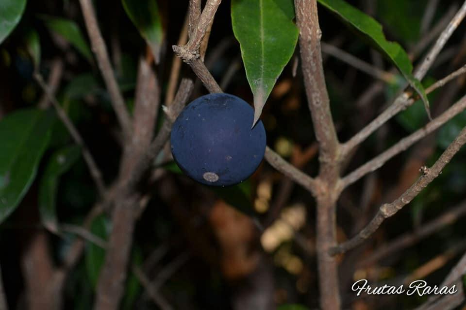 Myrciaria vexator - Jabuticaba-azul; blue grape, blue jaboticaba, pésjua morada