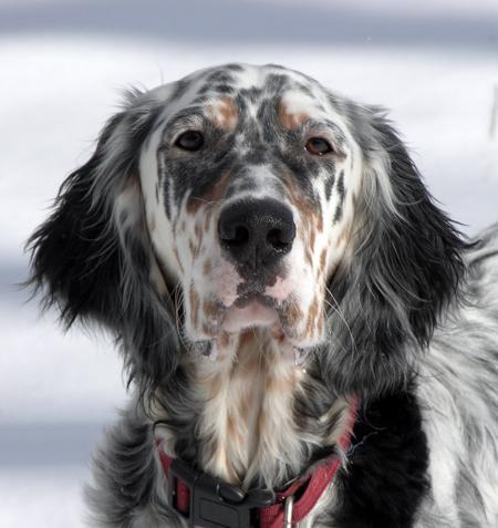 English setter originally spain dogs clinical examinations