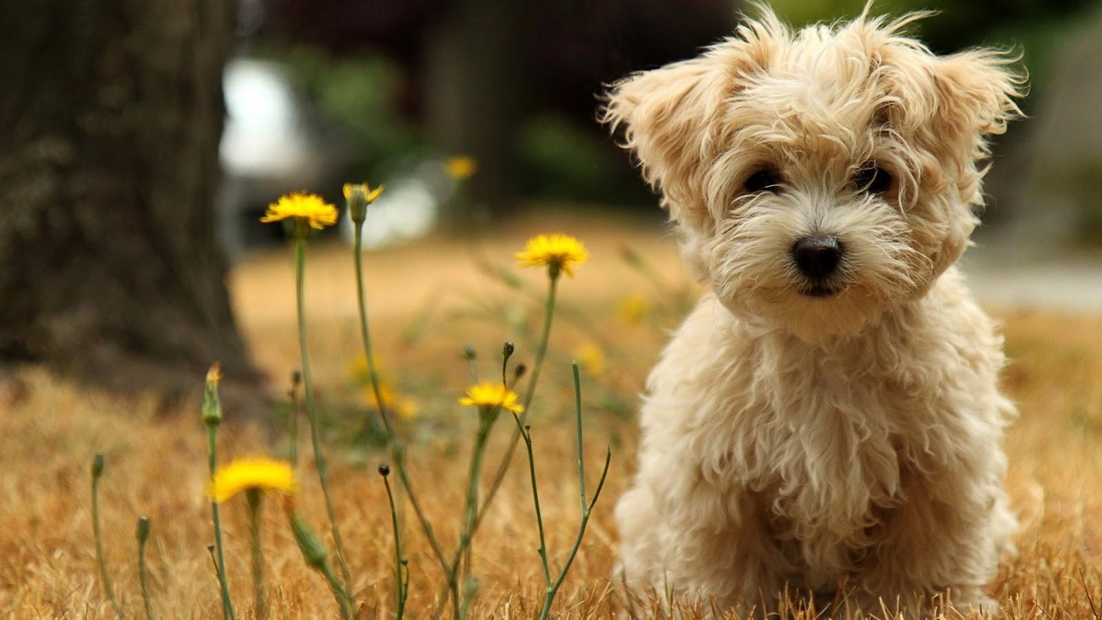 http://2.bp.blogspot.com/-dWWtTIDwTEQ/ULu_YY5GUlI/AAAAAAAAN50/Rxelen9rj6E/s1600/havanese_silk_dog-HD.jpg