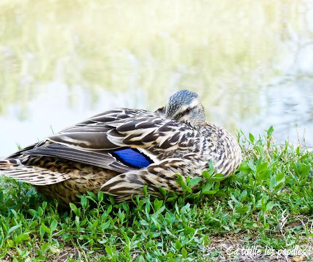 Ça titille les papilles ! Canards, Colvert, Lac, Bleu, contraste
