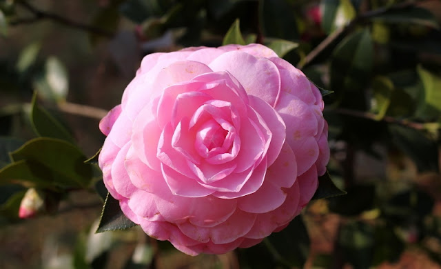 Camellia Flowers Pictures