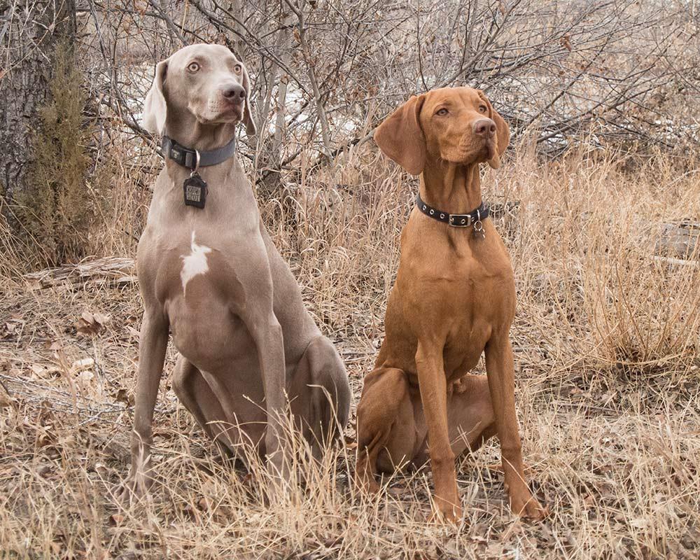 Vizsla vs Weimaraner - Dogs Comparison