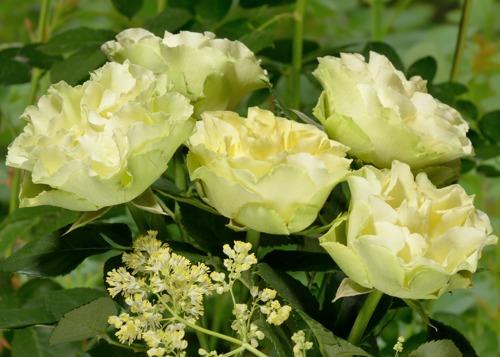 Limbo rose сорт розы фото