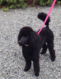 Brie, our miniature poodle