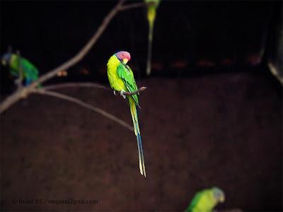 Birds, Plum headed Parakeet