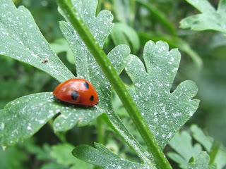 Ladybird Feverfew