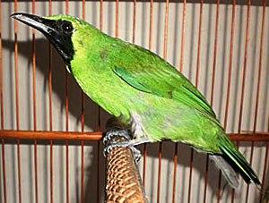 Cara Menangkarkan Burung Cucak Hijau, Cara Menjodohkan Burung Cucak Hijau, Proses Menangkarkan Burung Cucak Hijau, Tips Menangkarkan Burung Cucak Hijau