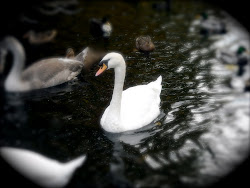 Swan on the Vltava