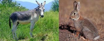 la naturaleza se copia a sí misma: los conejos y los burros (y las ratas y los caballos)