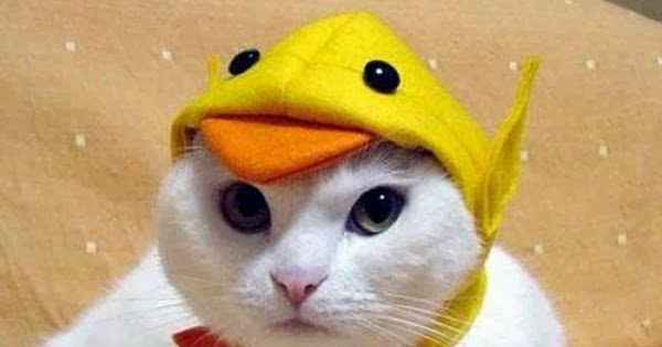 cute cat with yellow funny cap cat pictures