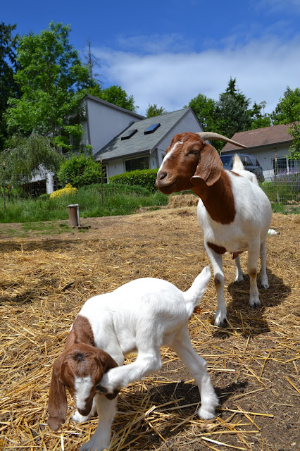 baby animals, kids, goats, farm, sunny, photography, catie beatty