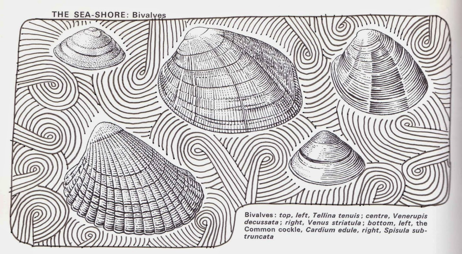 Zentangle sand swirl drawn over illustration of shells