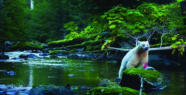 Spirit Bear