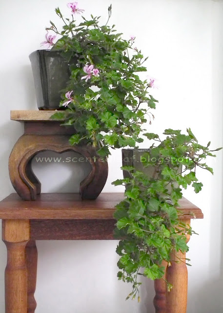 Scented pelargonium Marie Thomas blooming bonsai after 5 months of training in cascade style