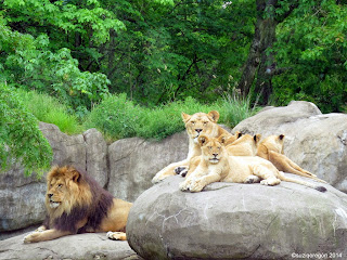 Oregon Zoo Lion Family