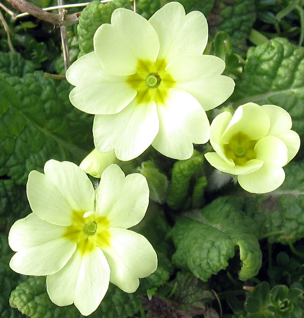 A six-petaled primrose, said to be lucky. Primrose Bank, Cudham Valley.