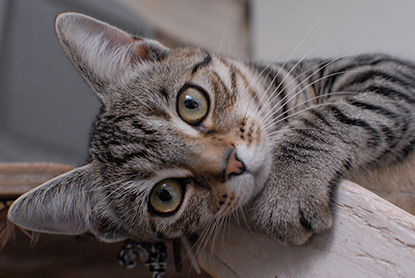 Tabby kitten Ringo
