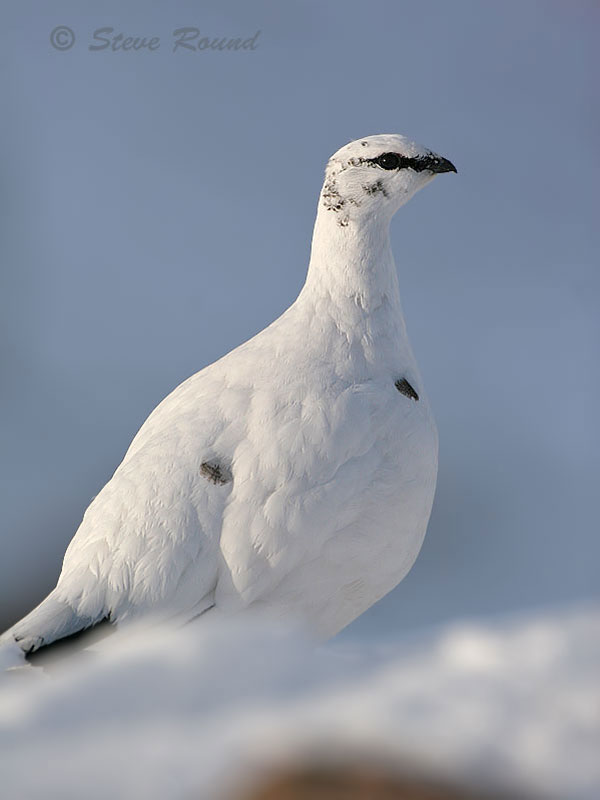 bird, nature, wildlife, ptarmigan, grouse