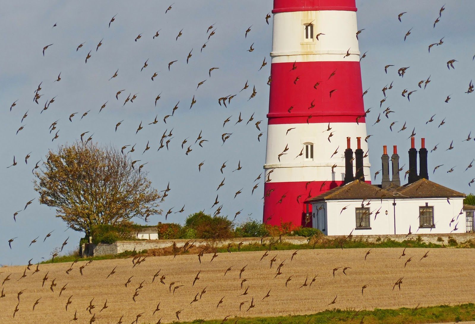 Golden Plover & Happisburgh Lighthouse