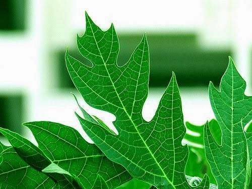 Rawatan demam denggi dengan jus daun betik