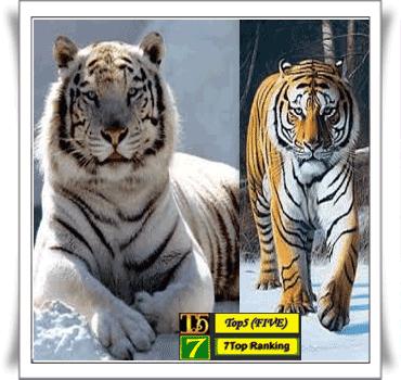 Harimau Siberia~Panthera tigris altaica