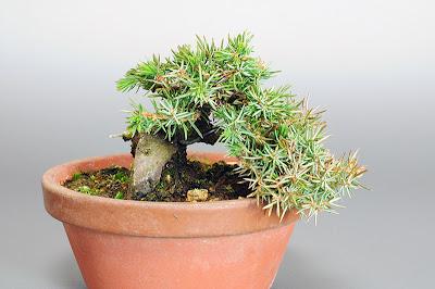 トショウN(としょう・杜松)松柏盆栽の販売と育て方・作り方 Juniperus rigida bonsai shop