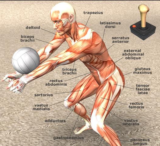 Sistema muscular | Anatomía Funcional