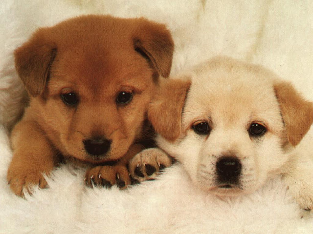 Cute Dog Puppies 27