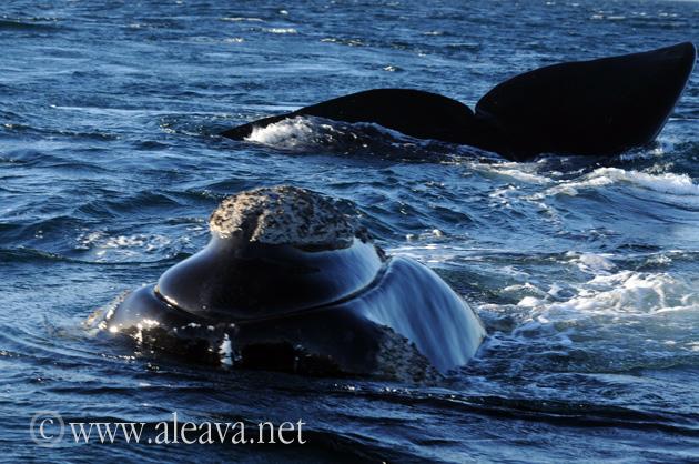 Whale in Puerto Piramides Peninsula Valdes