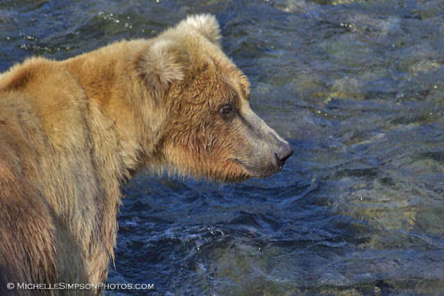 Bear Portrait - Brooks Falls, Katmai, Alaska