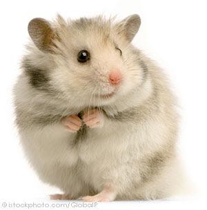 Trại bọ ú: Hamster, bọ ú, guinea pig, thỏ kiểng. Sỉ và lẻ! - 33