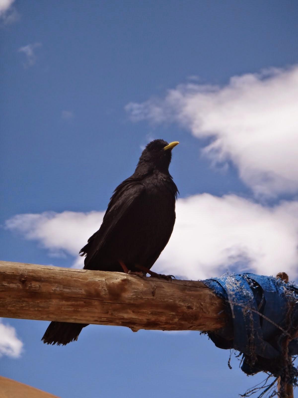 ラダックの鳥